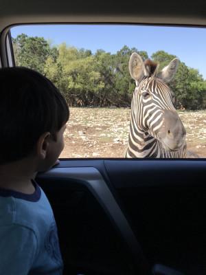 Drive through Safari at San Antonio